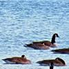Gäs(s)tspel på Norasjön