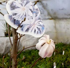 Magnolia-Rose-24i
